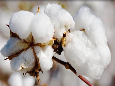 raw-cotton.jpg
